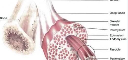 Bio_Muscle Tissue_1